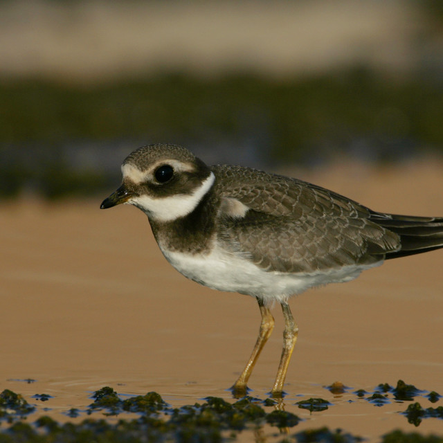 """""""Common Ringed Plover, Bontbekplevier, Charadrius hiaticula"""" stock image"""