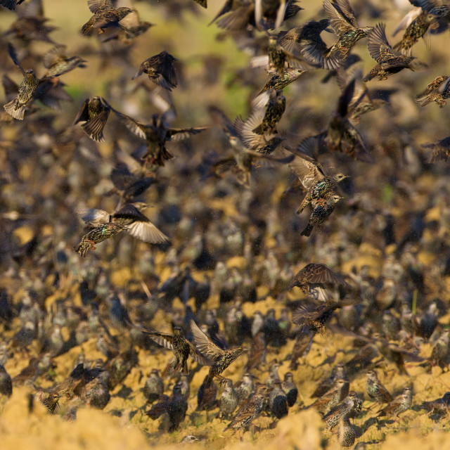 """Spreeuw, Common Starling, Sturnus vugaris"" stock image"