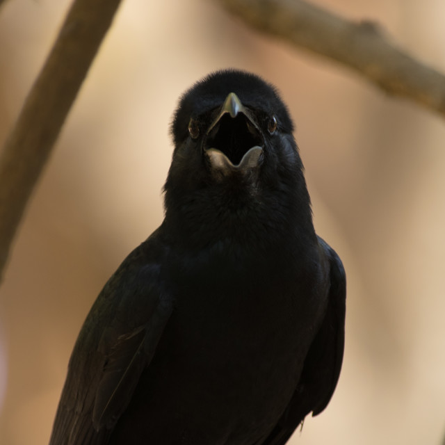 """Crow panting"" stock image"