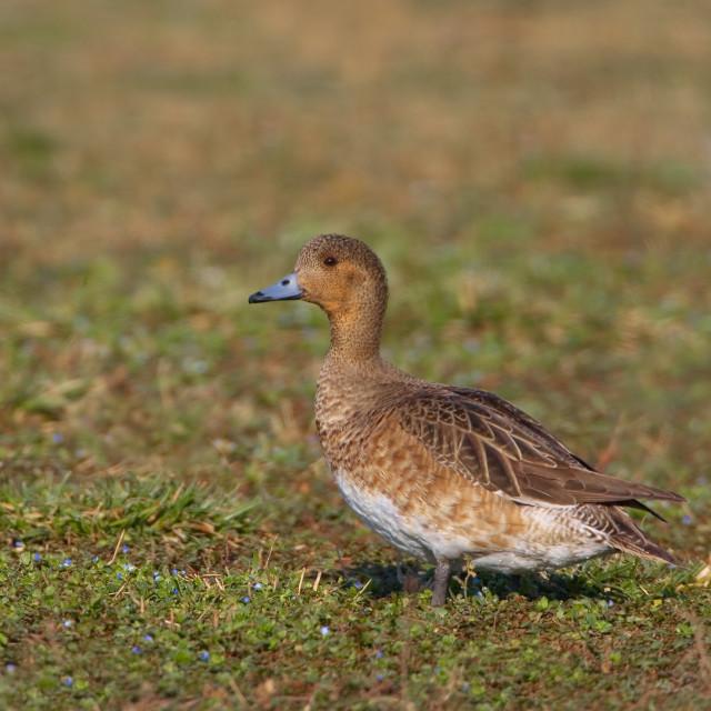 """Smient, Eurasian Wigeon, Anas penelope"" stock image"