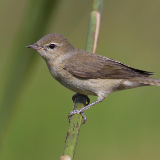 """Tuinfluiter, Garden Warbler, Sylvia borin"" stock image"