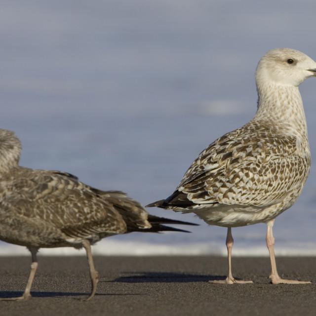 """Grote Mantelmeeuw, Greater Black-backed Gull, Larus marinus"" stock image"