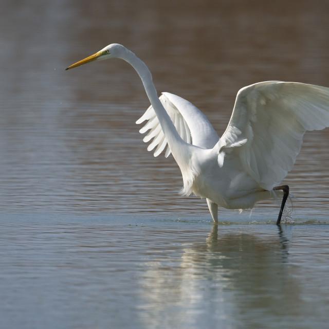 """Grote Zilverreiger, Great Egret, Casmerodius albus"" stock image"