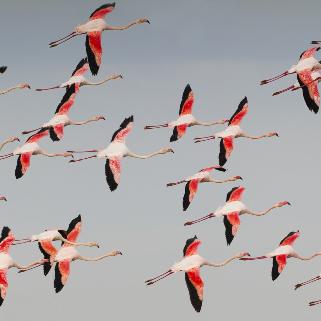 """Flamingo, Greater Flamingo, Phoenicopterus roseus"" stock image"