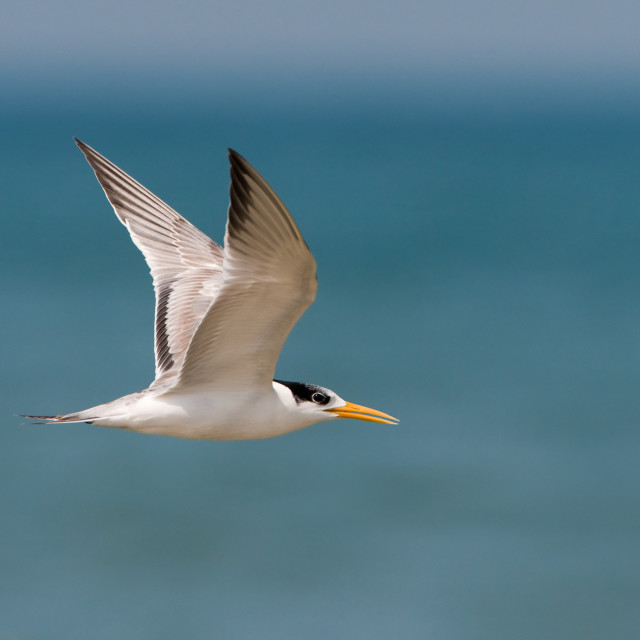 """""""Bengaalse Stern, Lesser Crested Tern, Sterna bengalensis"""" stock image"""