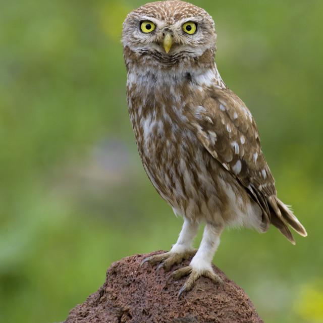"""Civetta; Little Owl; Athene noctua ssp indigena"" stock image"