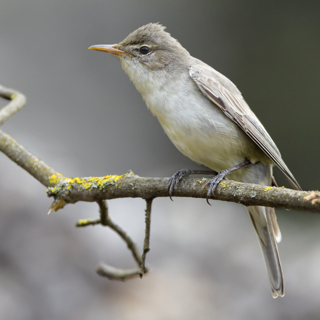 """""""Griekse Spotvogel, Olive-tree Warbler, Hippolais olivetorum"""" stock image"""