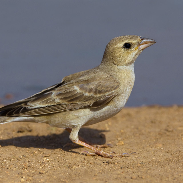 """Bleke Rotsmus, Pale Rock Sparrow, Carpospiza brachydactyla"" stock image"