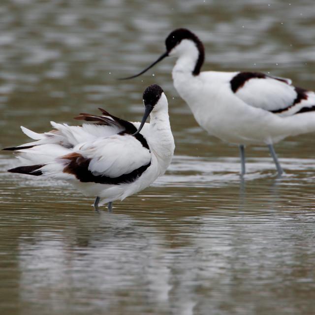 """Kluut, Pied Avocet, Recurvirostra avosetta"" stock image"