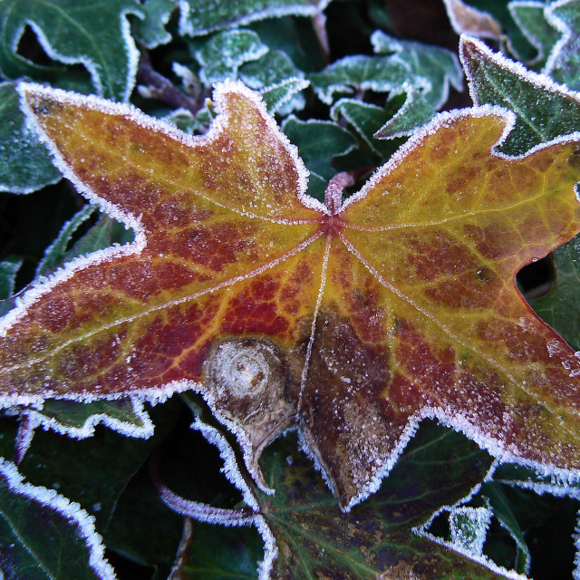 """""""Frosted ivy leaf"""" stock image"""
