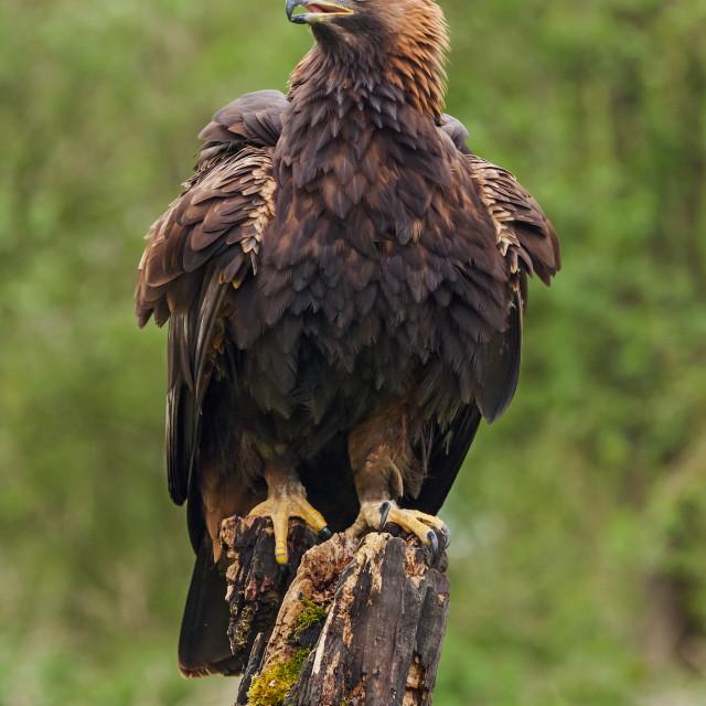 """""""Golden eagle at rest"""" stock image"""