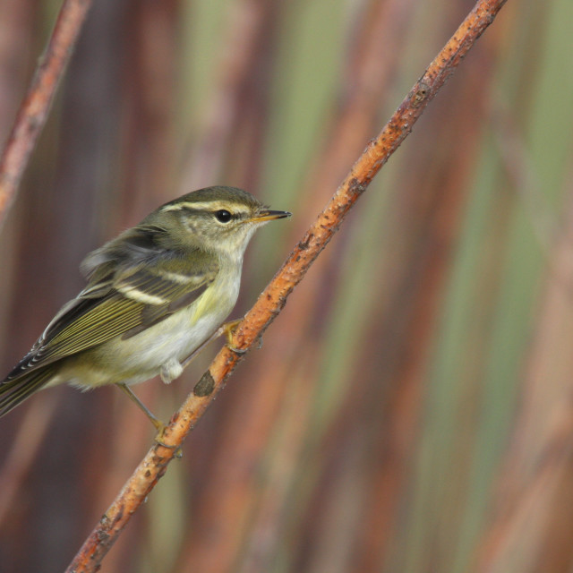 """Bladkoning, Yellow-browed Warbler, Phylloscopus inornatus"" stock image"