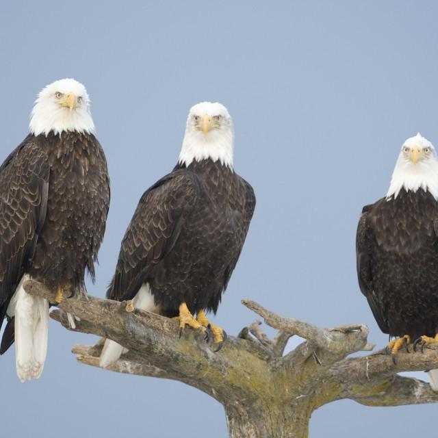 """""""Amerikaanse Zeearend, Bald Eagle, Haliaeetus leucocephalus"""" stock image"""