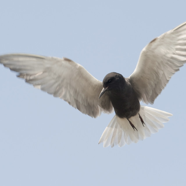 """Zwarte Stern, Black Tern, Chlidonias niger"" stock image"