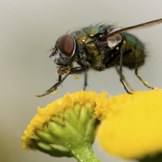 """Roodwangbromvlieg, Flesh fly, Calliphora vicina"" stock image"
