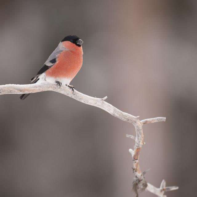 """""""Goudvink, Eurasian Bullfinch, Pyrrhula pyrrhula"""" stock image"""