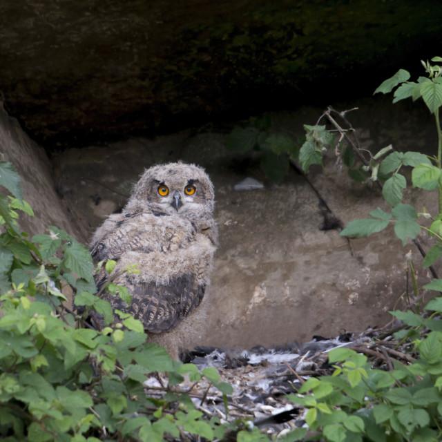 """Oehoe; eagle owl; Bubo bubo"" stock image"