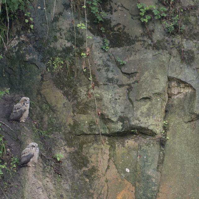 """Oehoe, Eurasian Eagle-Owl, Bubo bubo"" stock image"