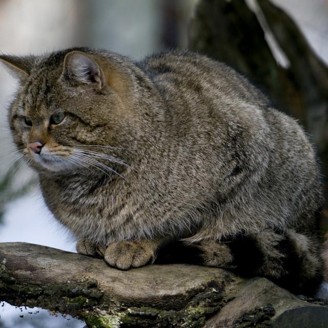 """Europese Wilde Kat, European Wild Cat, Felis silvestris"" stock image"