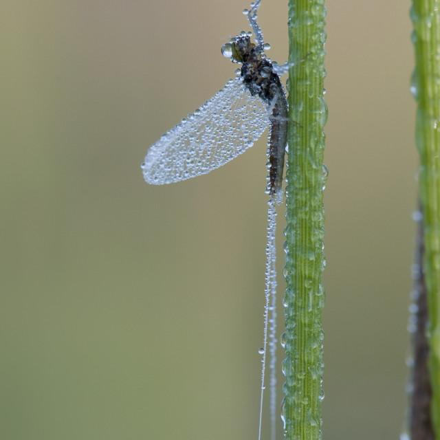 """""""haft, mayfly, Ephemeroptera"""" stock image"""