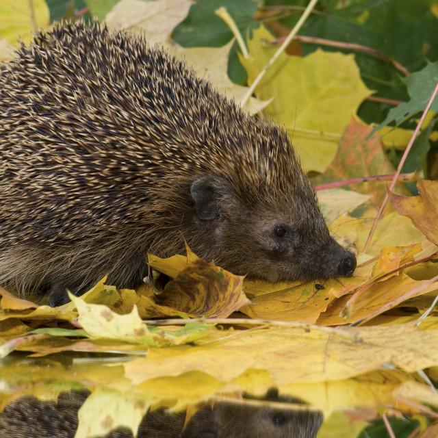 """""""Europese Egel, European Hedgehog, Erinaceus europaeus"""" stock image"""