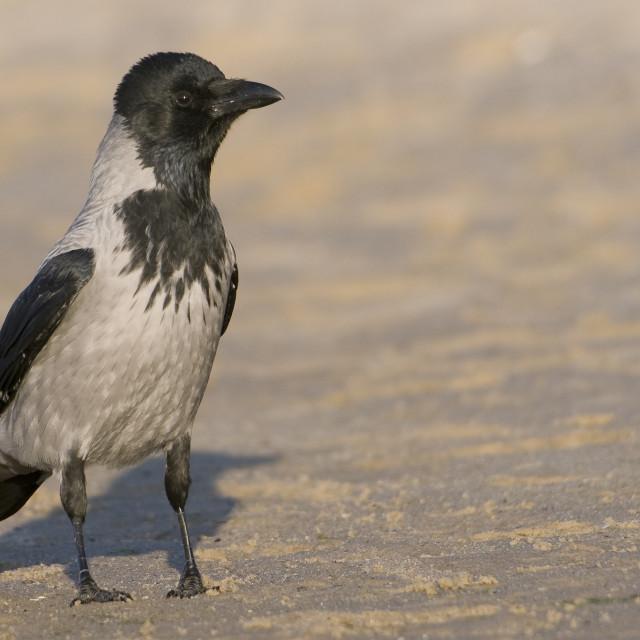 """Bonte Kraai, Hooded Crow, Corvus cornix"" stock image"