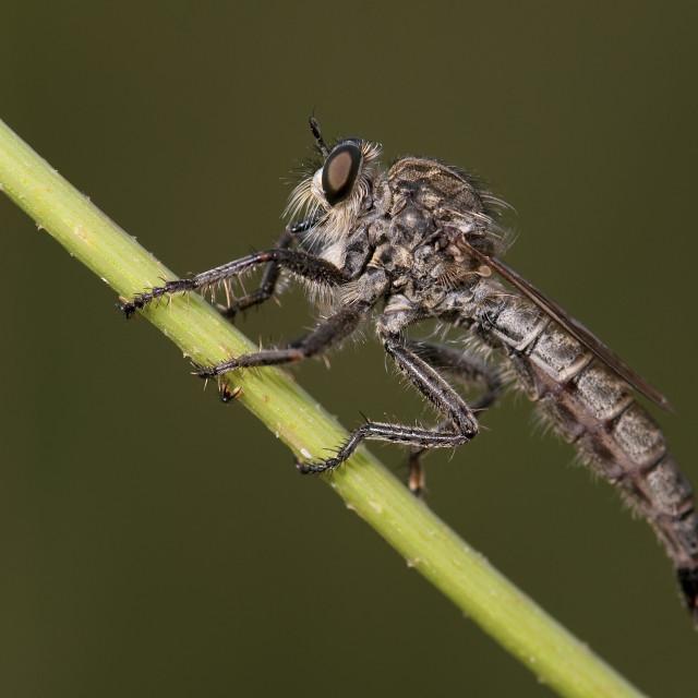 """""""Roofvlieg, Kite-tailed Robberfly, Machimus atricapillus"""" stock image"""