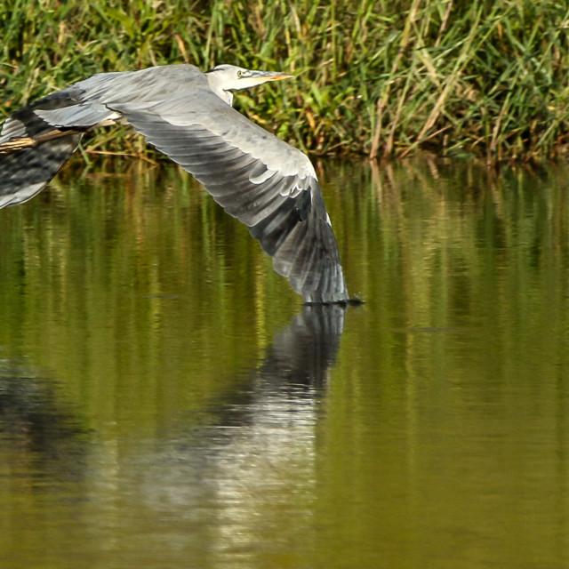 """Grey Heron wing in water"" stock image"