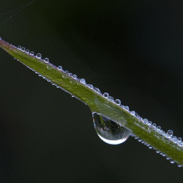 """dauw, dew"" stock image"