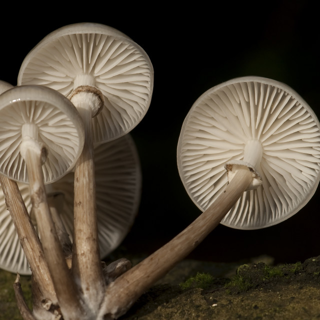 """Porseleinzwam, Porcelain Mushroom, Oudemansiella mucida"" stock image"