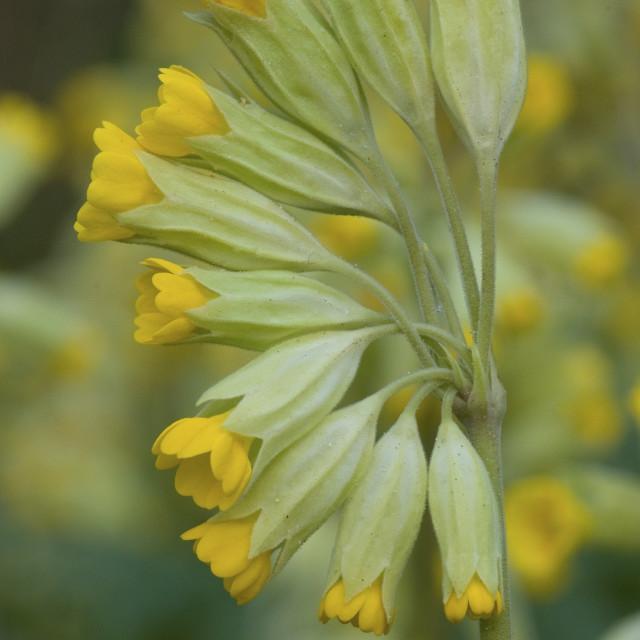 """Gulden sleutelbloem, Cowslip, Primula veris"" stock image"