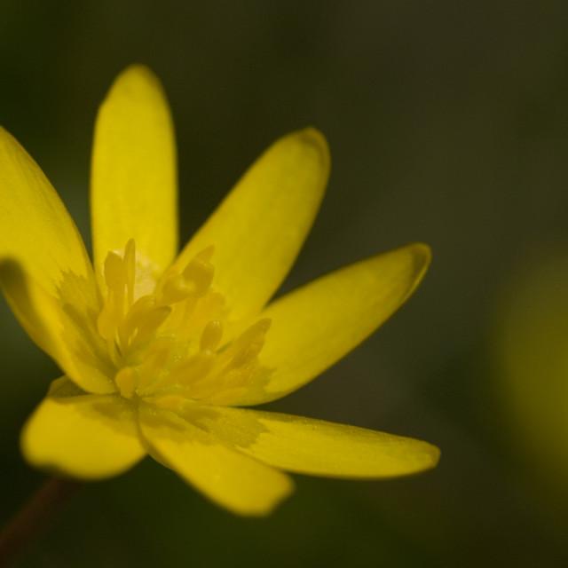 """Speenkruid, Lesser celandine, Ranunculus ficaria"" stock image"