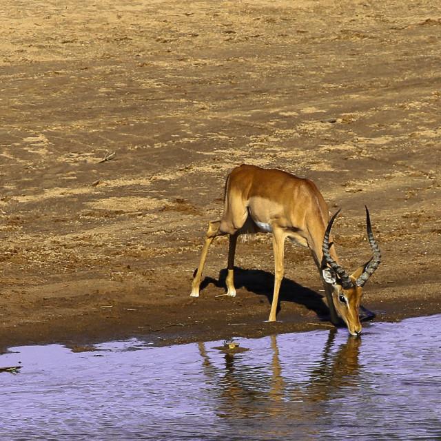 """""""Impala ram"""" stock image"""