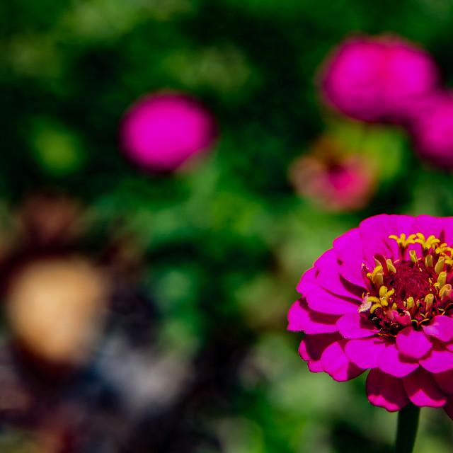 """Zinnia Flowers"" stock image"