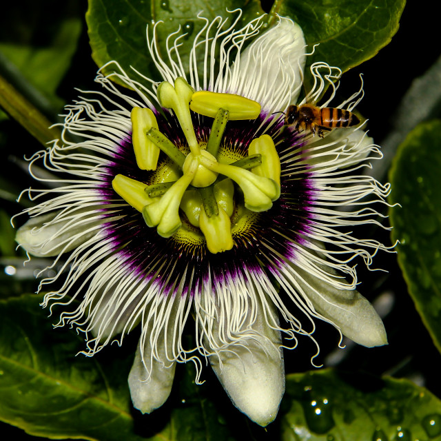 """Passion Fruit flower"" stock image"