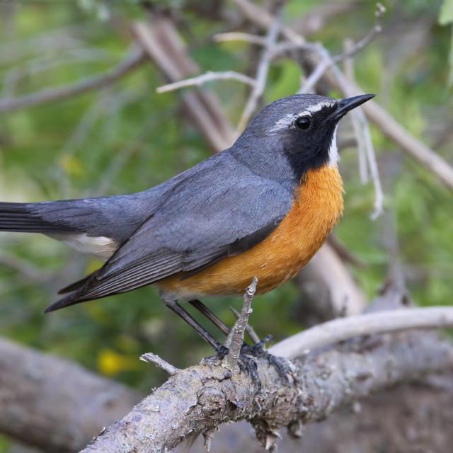 """Perzische Roodborst, White-throated Robin, Irania gutturalis"" stock image"