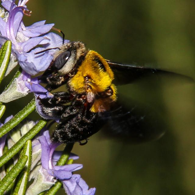 """Carpenter Bee"" stock image"