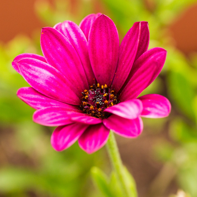 """Fuchsia Pink Daisy"" stock image"