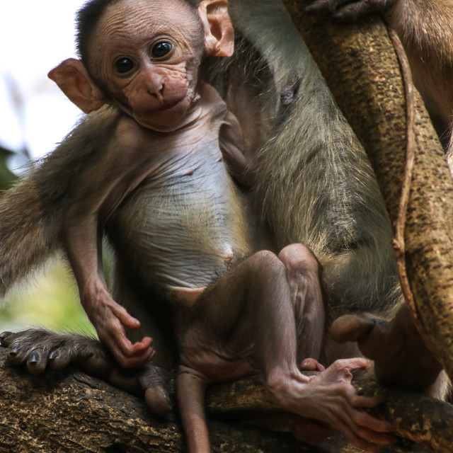 """Young Macaque"" stock image"