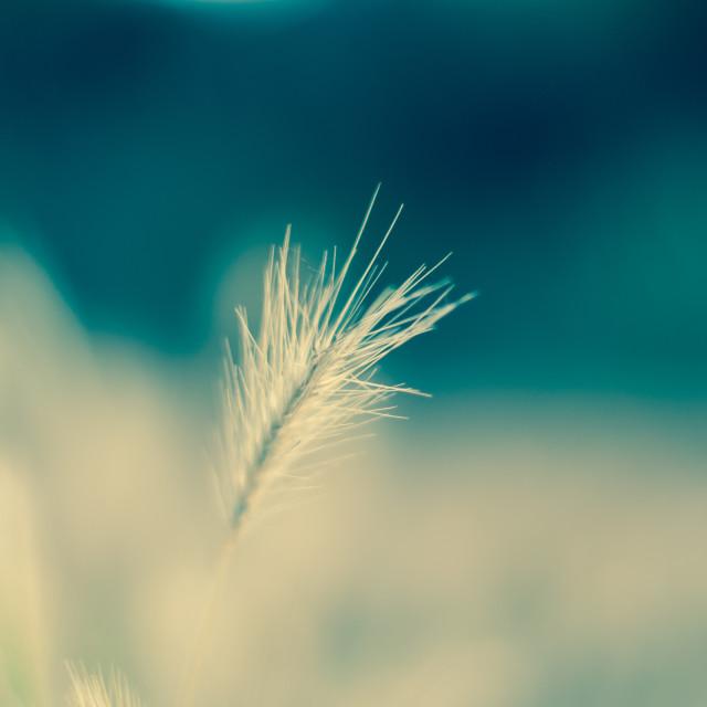 """blue grass"" stock image"