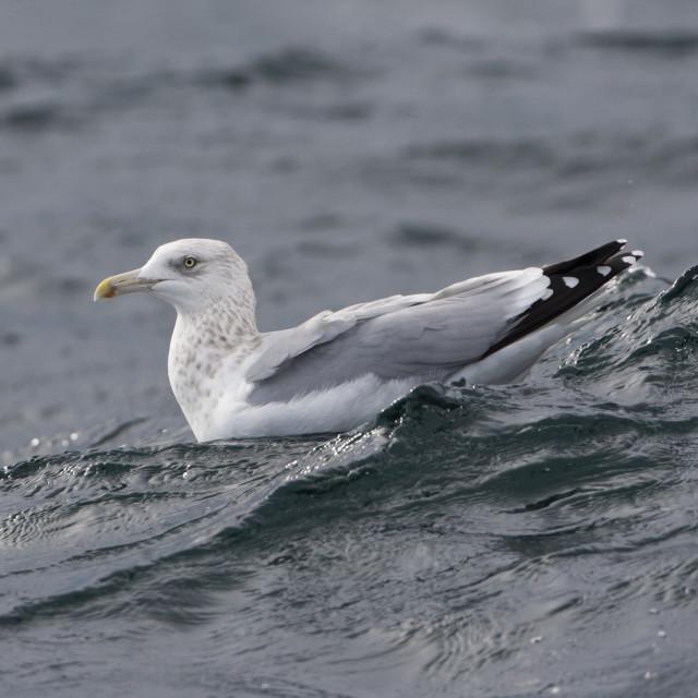 """Amerikaanse Zilvermeeuw, Smithsonian Gull, Larus smithsonianus"" stock image"