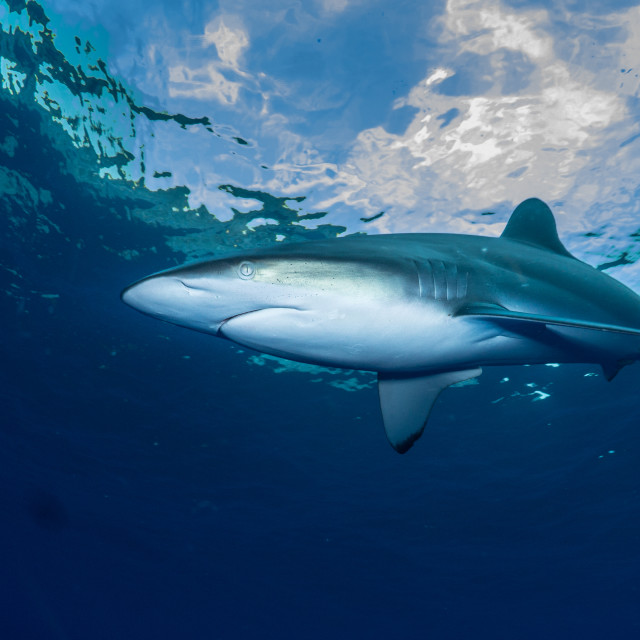 """Silky Shark"" stock image"