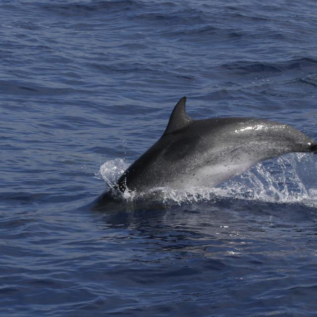 """Atlantische Gevlekte Dolfijn, Atlantic Spotted Dolphin, Stenella frontalis"" stock image"