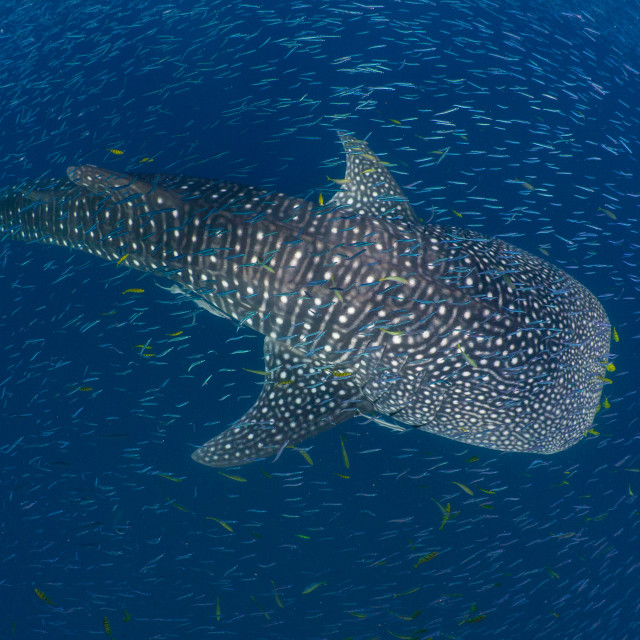 """Whale Shark from above"" stock image"