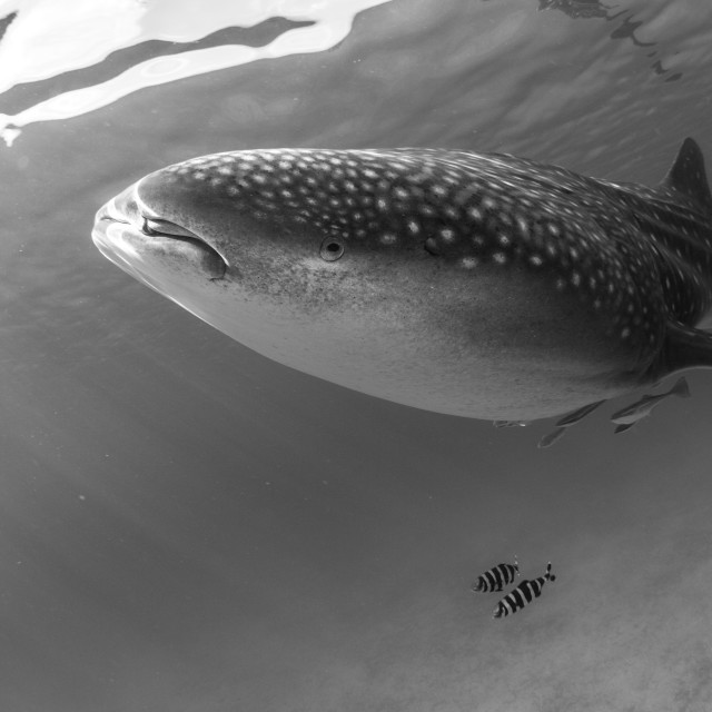 """Whale Shark B&W"" stock image"