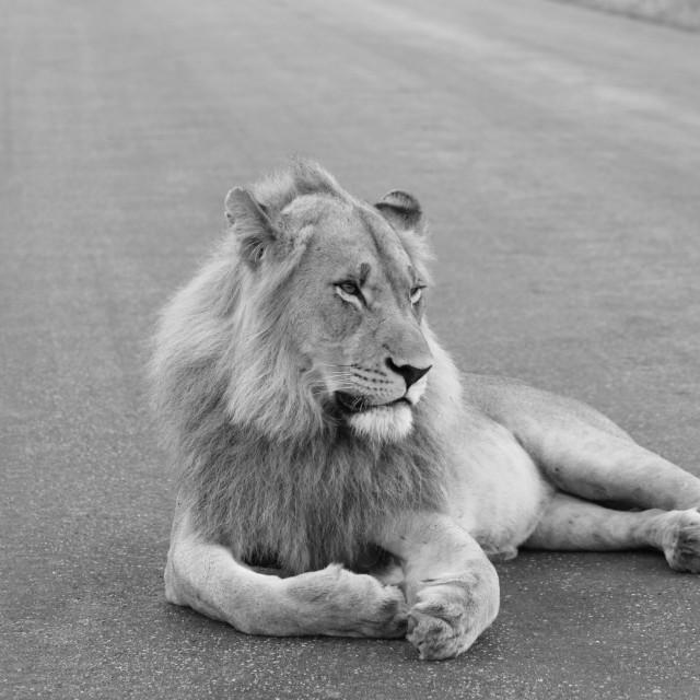 """Lion B&W"" stock image"