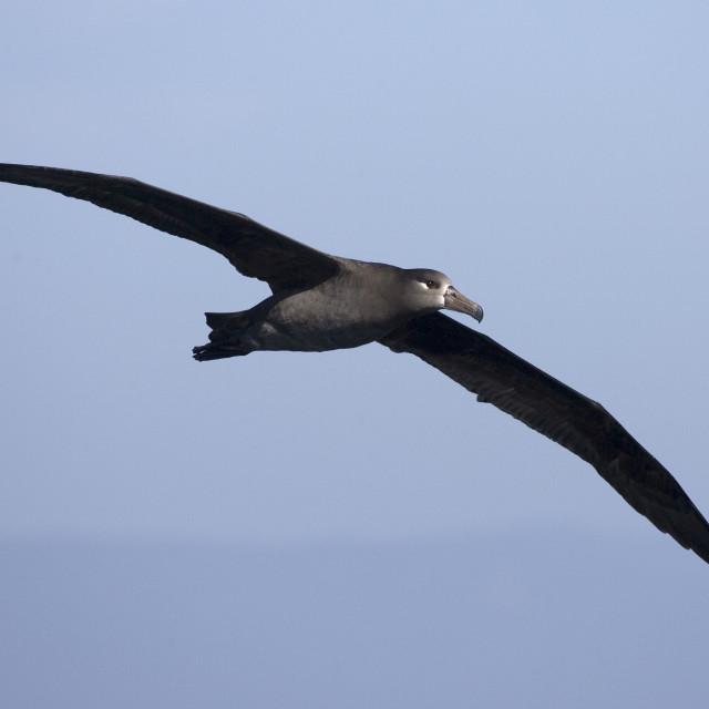 """Zwartvoetalbatros, Black-footed Albatross, Phoebastria nigripes"" stock image"