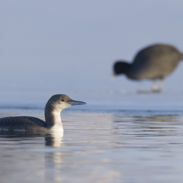 """Parelduiker; Black-throated Loon; Gavia arctica"" stock image"