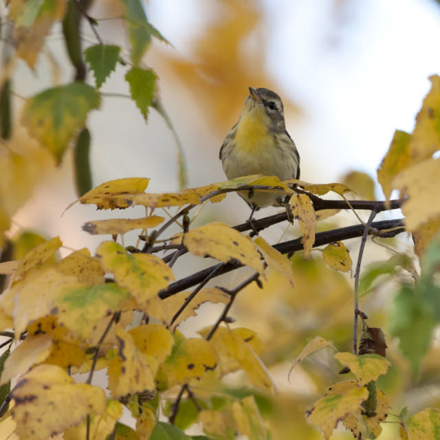"""Sparrenzanger, Blackburnian Warbler, Motacilla fusca"" stock image"