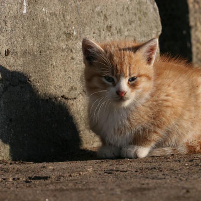 """""""Huiskat, Domestic Cat, Felis catus"""" stock image"""